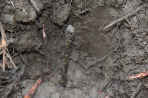 Inserted metal pin identified in plot center in the Sundarbans